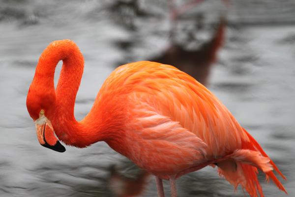 фото - Розовый Фламинго