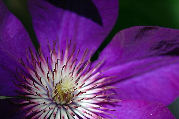 фиолетовый цветок картинки: