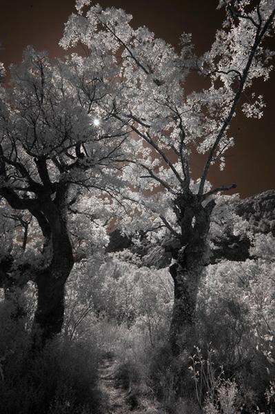 ИК фотография в солнечном лесу